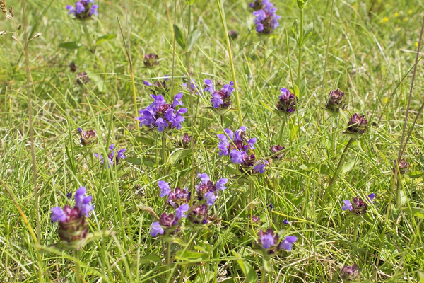 Self-heal flowers