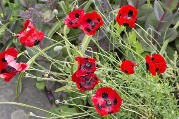 Poppy flowers: Flowers of