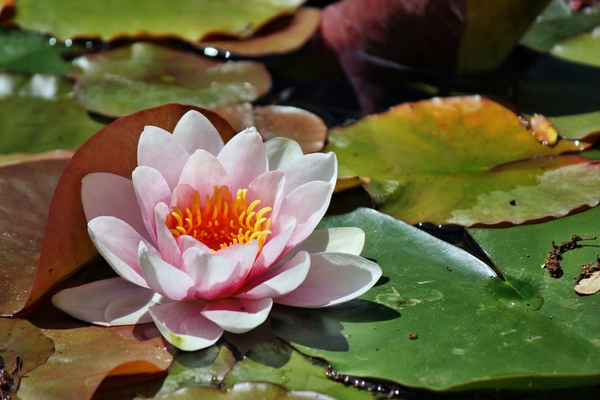 water lilies: water lilies or Nymphaeaceae (rhizomatous aquatic herbs)