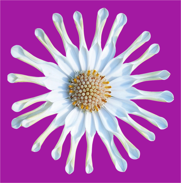 white star daisy