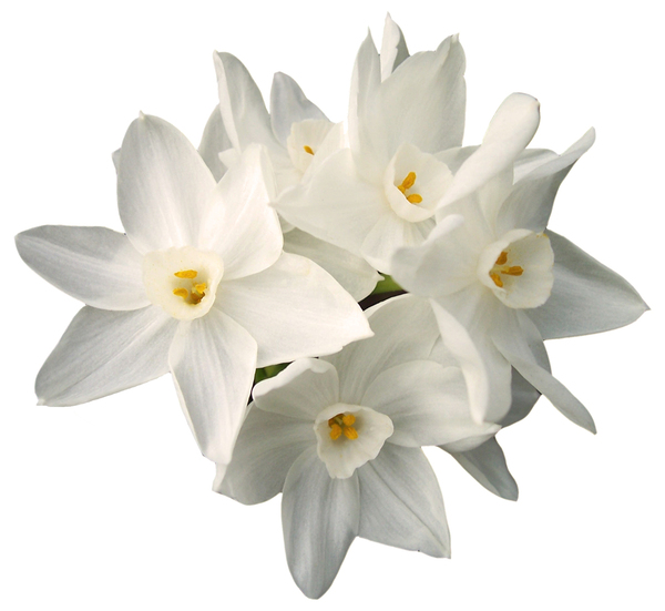 jonquils: A cutout of jonquil flowers