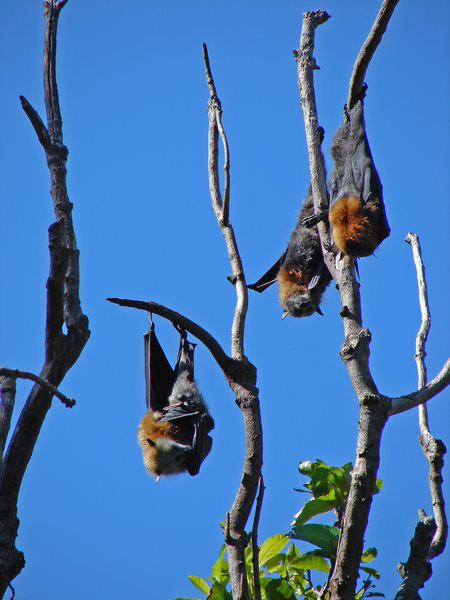 Fruit Bats at Botanical Garden
