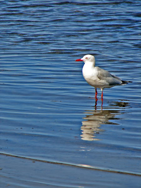 seagull and reflection: A seagull plus reflection