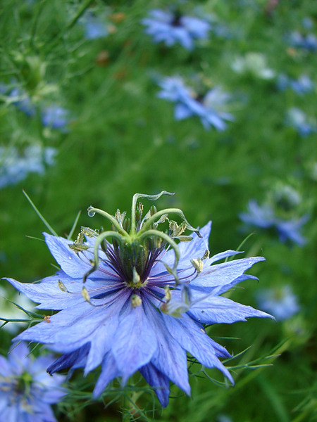 Nigella Flower-Love in the mis