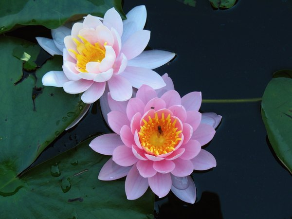Water Lily Re-Visited: Water lilies with two guests-