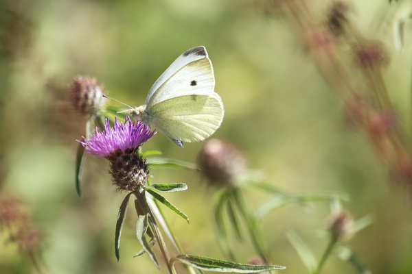 Transient life: A Small White (Pieris rapae) butterfly feeding at a knapweed flower in Surrey, England.