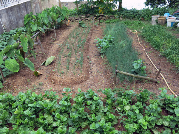Asian vegetable garden: Asian vegetable garden