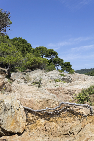 Rocks, trees and roots: Coniferous forest and exposed roots in fractured coastal rocks in Catalunya, Spain.
