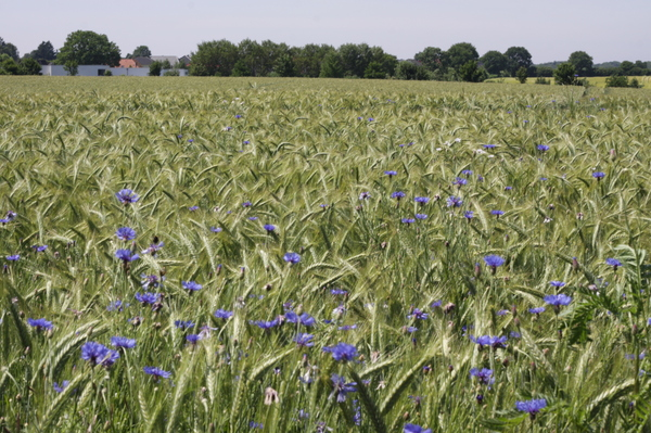 Field with cornflowers