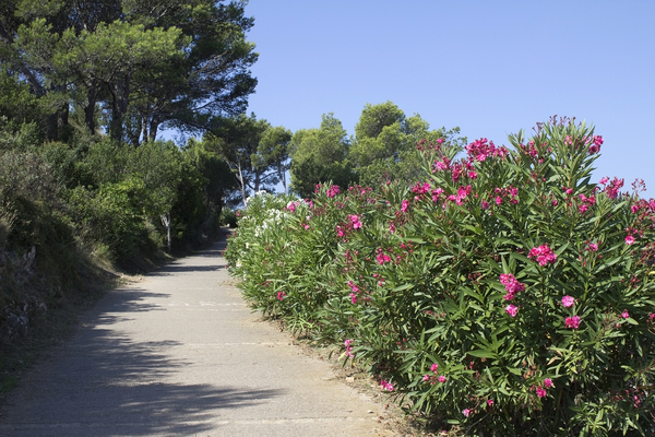 Road with oleander bushes