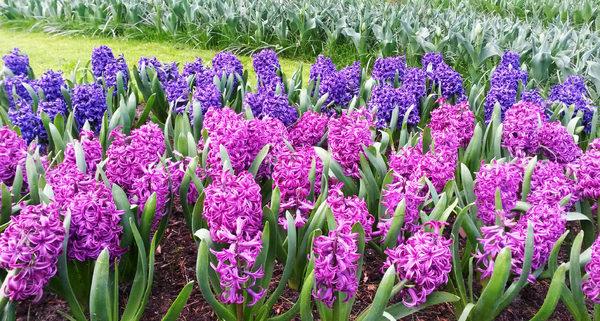 Hyacinths: Hyacinths in a garden in the Netherlands.