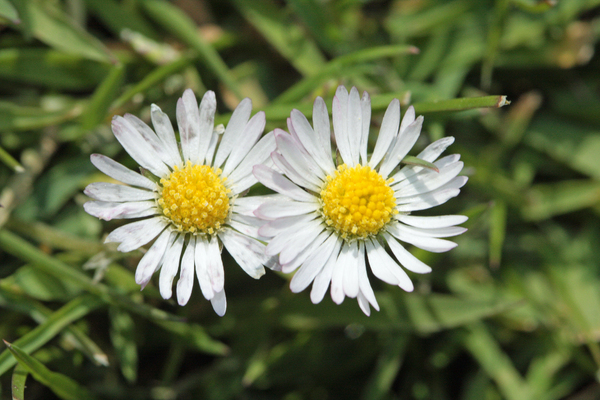 Daisy couple: Common flowers