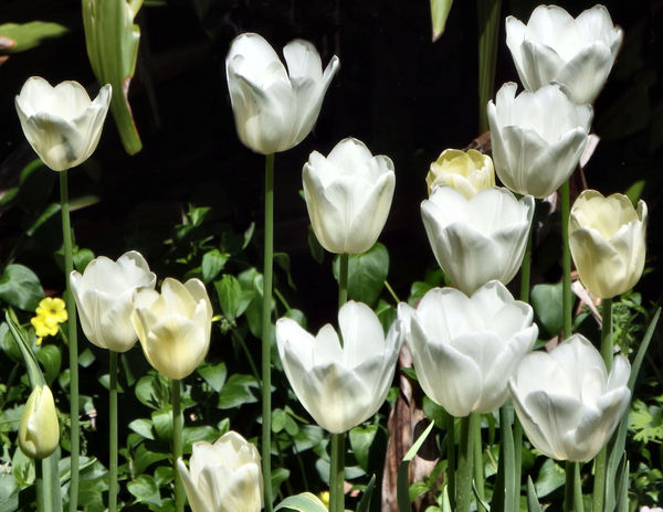spring tulips4