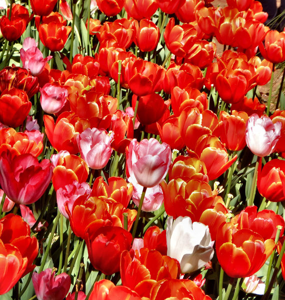 spring tulips6