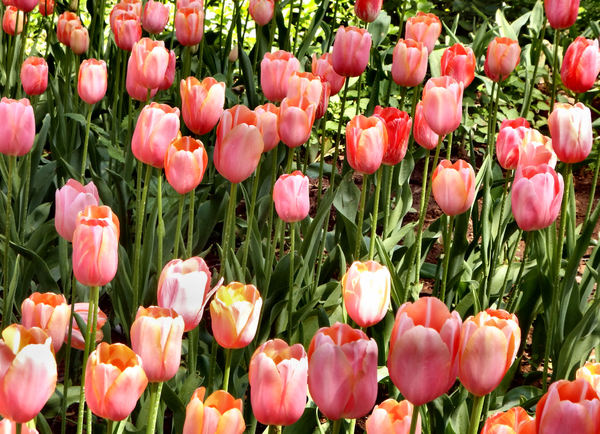 spring tulips2