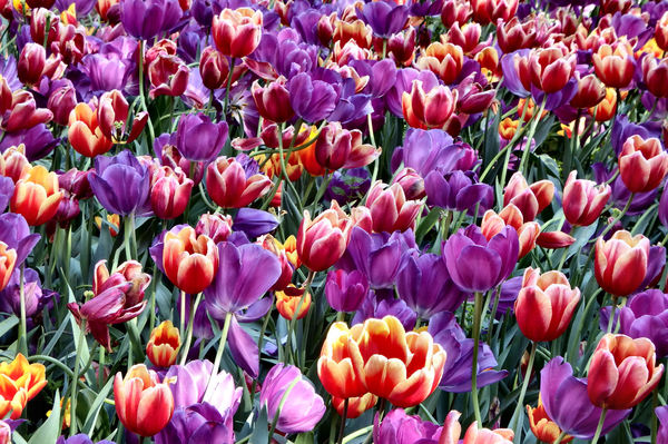 spring tulips8