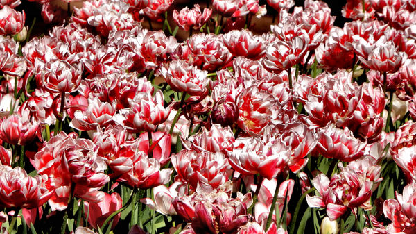 spring tulips16