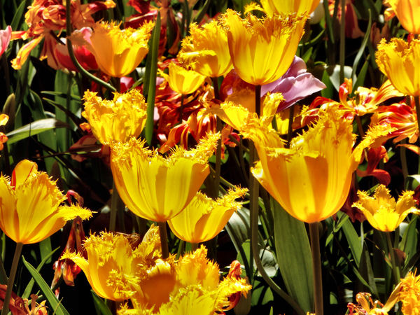 spring tulips37
