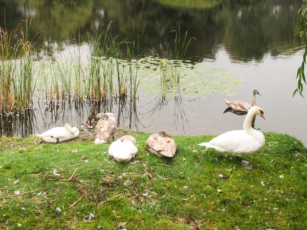 swans at lakeside 2