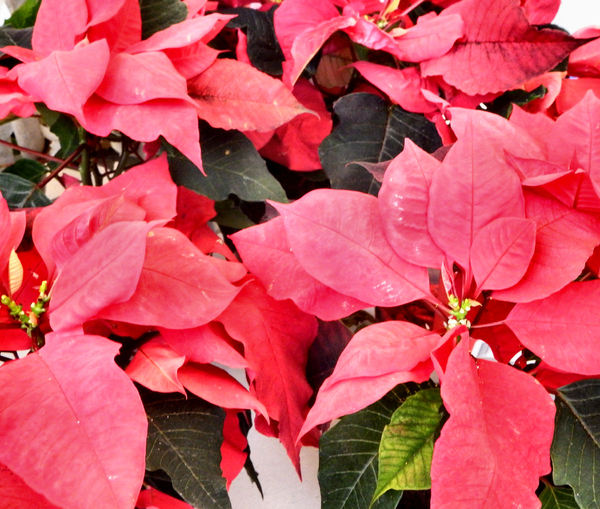 Christmas poinsettias1