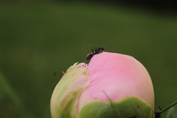 Ant atop a Peony bulb