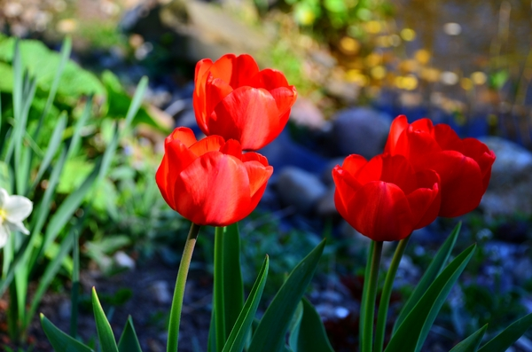 red tulips: red tulips from my garden