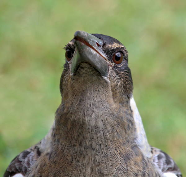 Juvenile Black Backed Magpie