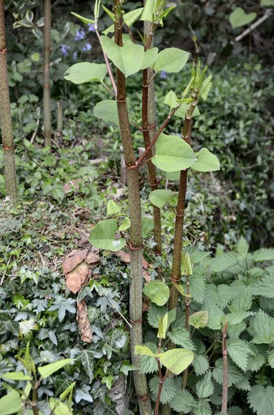 Japanese knotweed 2: An individual stem from the invasive Japanese knotweed