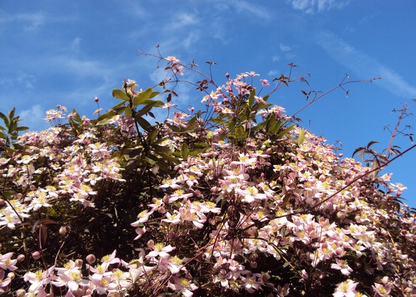 Abundant blossom: The abundant blossom of this clematis has totally covered the tree