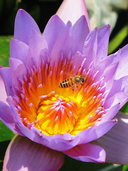 bee and water lily