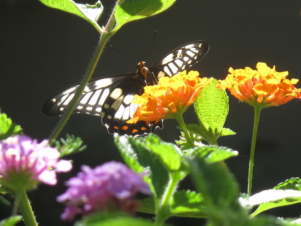 Dingy Swallowtail 1