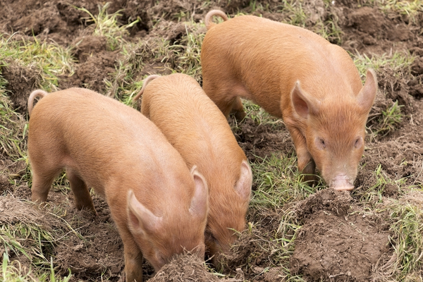 Piglets: Tamworth piglets in a farm park in England.