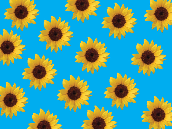 Sunflowers background 1: Sunflowers background 1