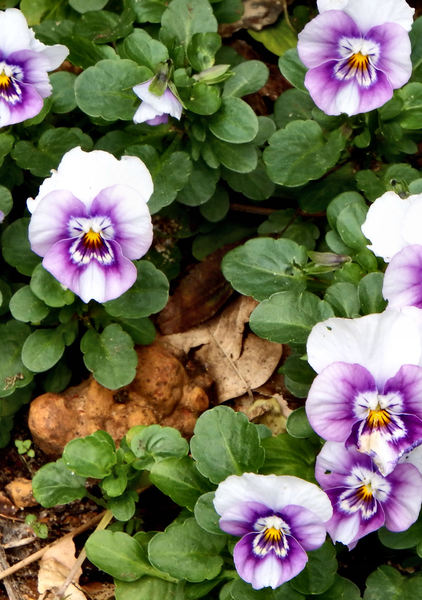 pansy purple1