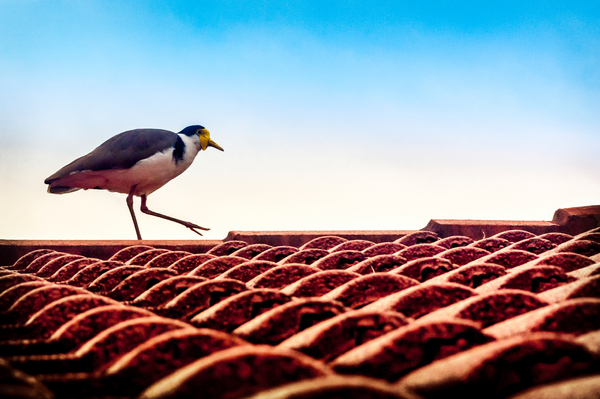 Bird on a Roof