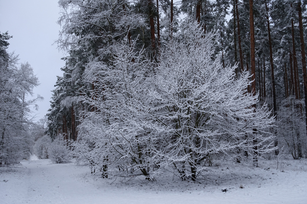 winter forest idyll 2