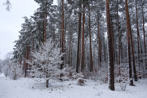 idyllic winter forest 2