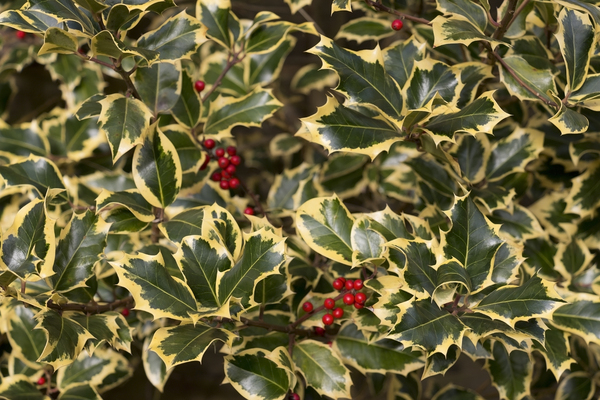 Ornamental holly