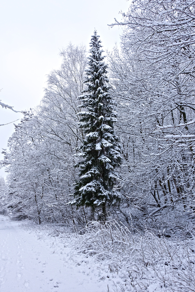 fir tree in winter forest