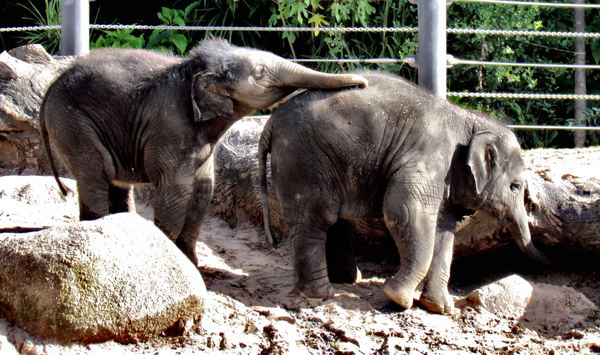 young and wrinkled3b: two young Indian zoo elephants at play