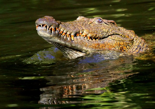 Nile crocodile.: Close- Up images of a Nile crocodile.
