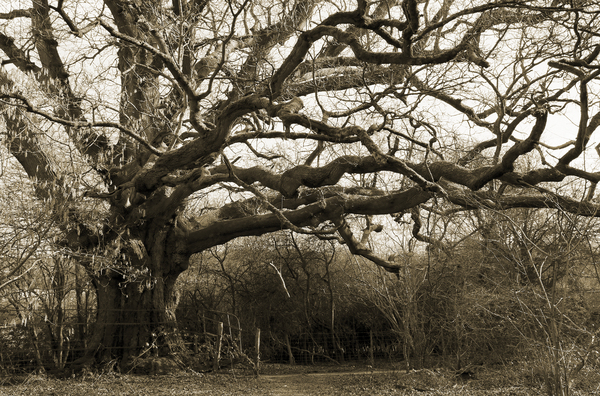 Old tree (sepia)
