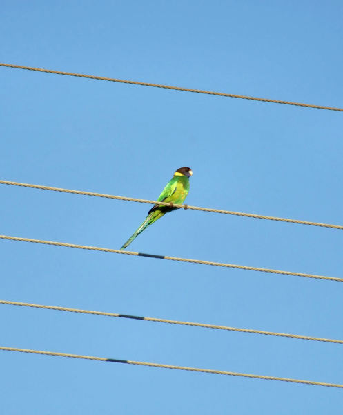 highwire parrot1