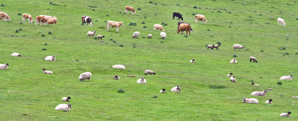 Mixed herd of cows and sheep