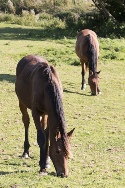 Horses: Horses grazing in a meadow in West Sussex, England.