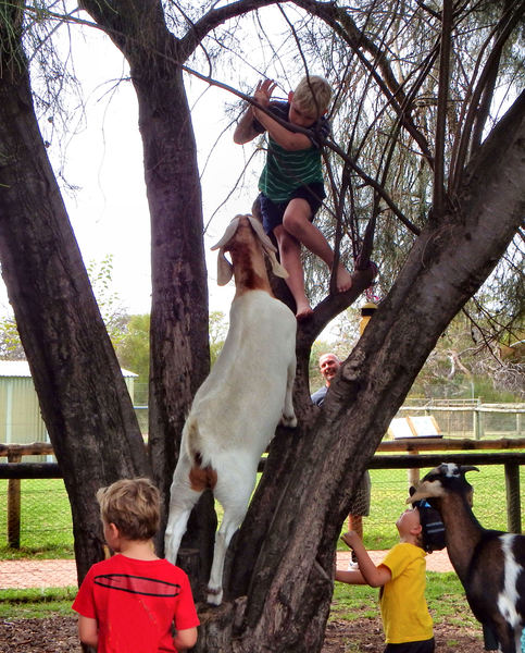 boys & goats climb trees1: natural tree climbers - boys & goats