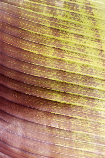 Leaf texture: Part of a leaf of a banana plant cultivar.