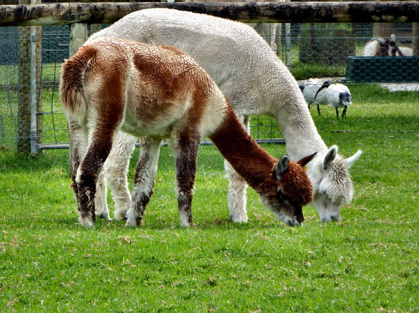 Alpacas grazing5: alpacas grazing on Australian farm