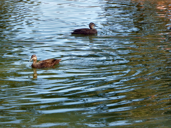 open waters or darker shore: common wild Australian ducks paddling in opposite directions