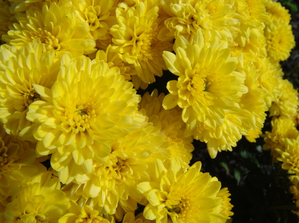 Sunshine Yellow Chrysanthemums